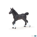 51530 - Black Anglo-Arab foal